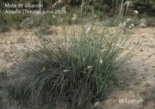 albardín