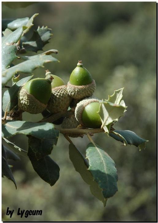 Quercus ilex ballota