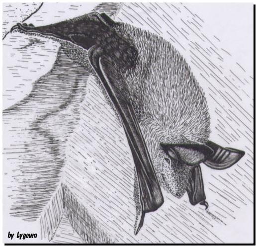 Myotis blythii