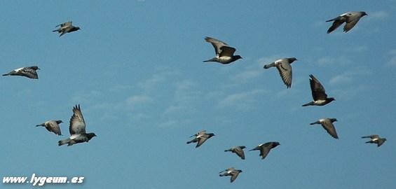 bando de palomas
