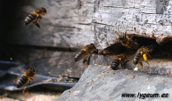 abejas melíferas
